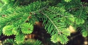 Как сохранить елку от осыпания