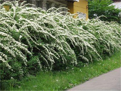 Живая изгородь – украшение участка